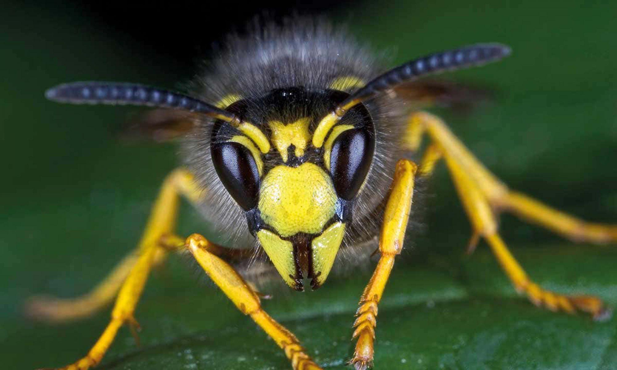 Wespenverdelgingherne.be
